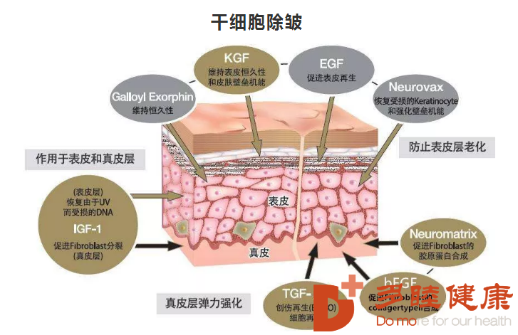 干细胞是什么?用于帮助人抗衰老吗?