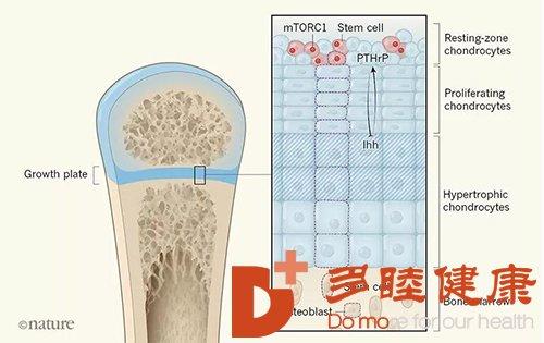 细胞改变骨骼生长,成为骨骼生长的动力源泉