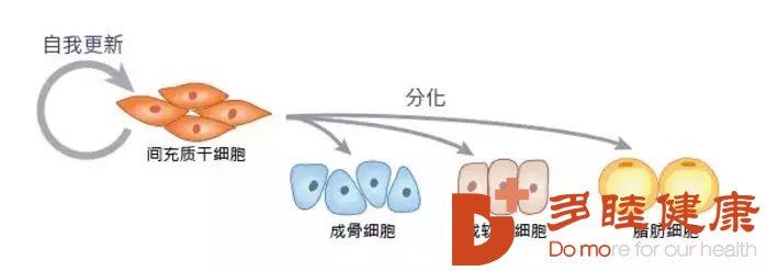 干细胞治疗:干细胞里的黄金资源