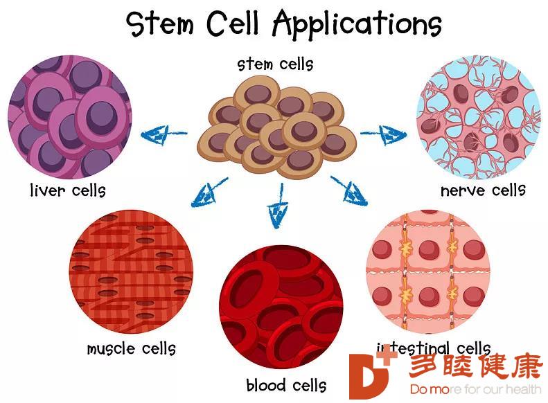 干细胞治疗:干细胞聪明的两大表现,自动归巢和具有记忆力